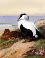 Common Eider Enten Archibald Thorburn Vogel