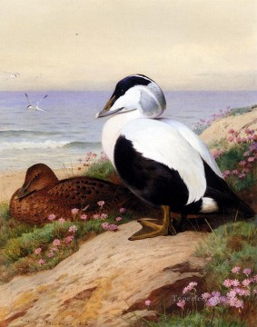 Vogel Werke - Common Eider Enten Archibald Thorburn Vögel
