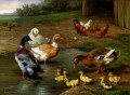 Chickens Ducks And Ducklings Paddling farm Tiere Edgar Hunt