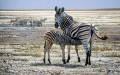 zebra and calf Tiere